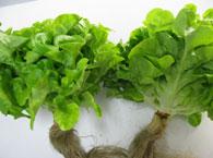 宮城の春の旬野菜画像
