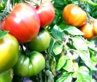 デリシャストマト画像1