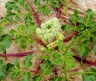 浜防風の根茎画像1